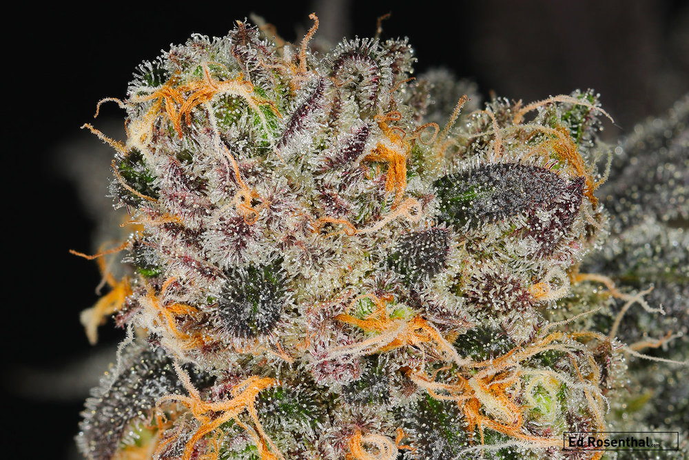 Photo: Cherry Vanilla Cookies close up by  Professor P  of  Dynasty Genetics .