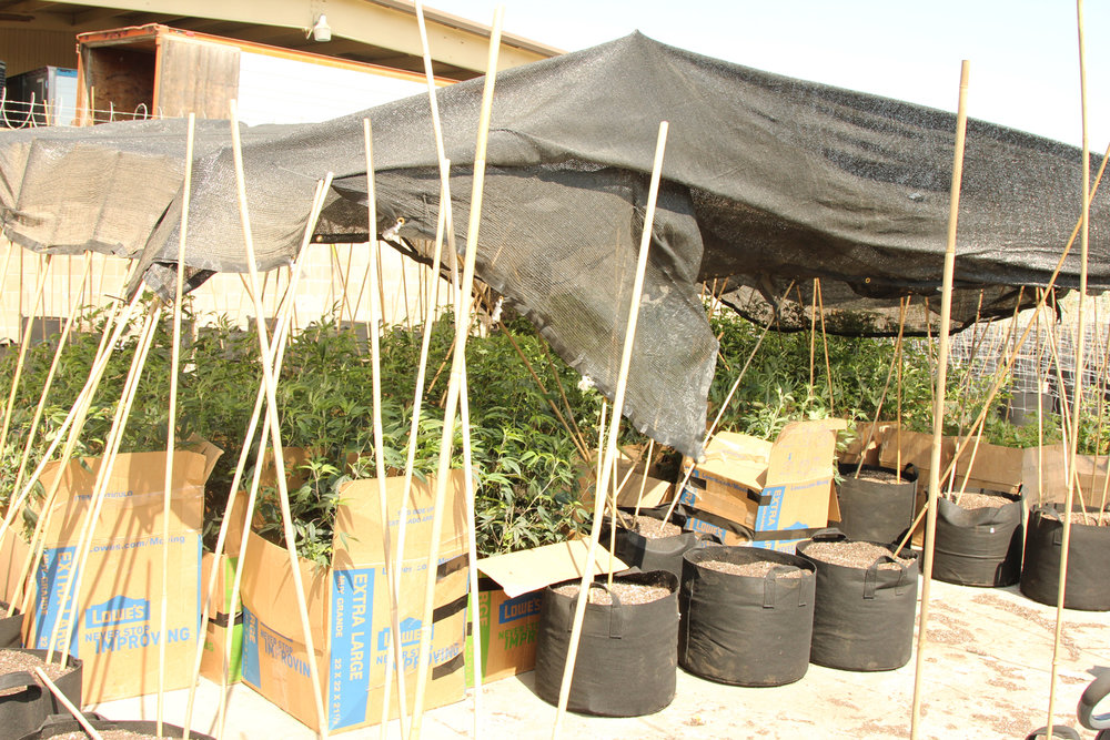 Cannabis plants were transported from an indoor facility to the outdoor cannabis farm .