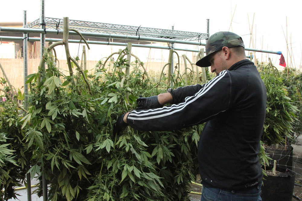 Cannabis plants are attached on a drying frame.