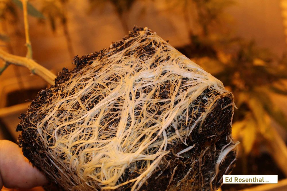 Cannabis roots photo by  Purple Caper Seeds