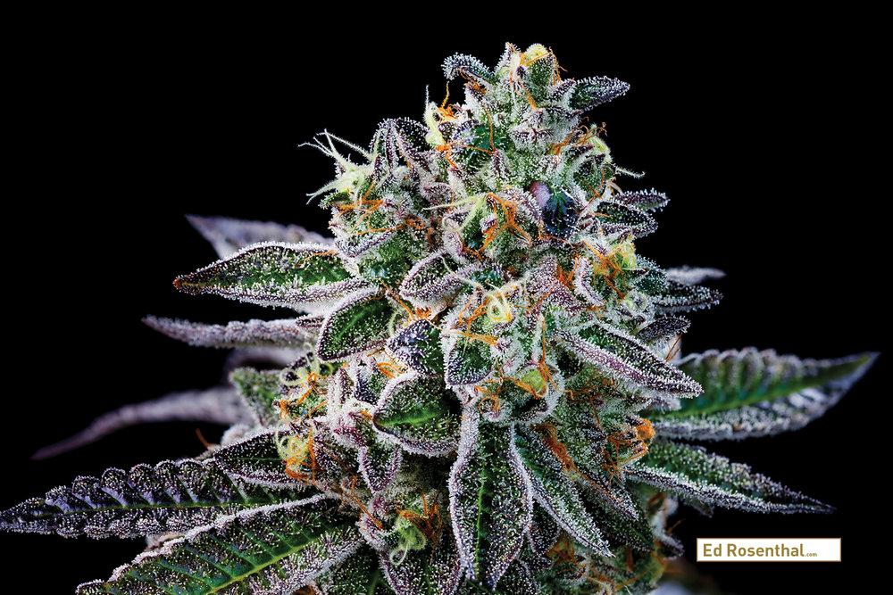Healthy cannabis bud. Photo_by_ DabselAdams