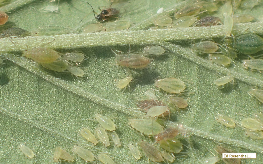 Aphids in multiple life stages. Photo by W. Cranshaw, CSU,  Bugwood.org