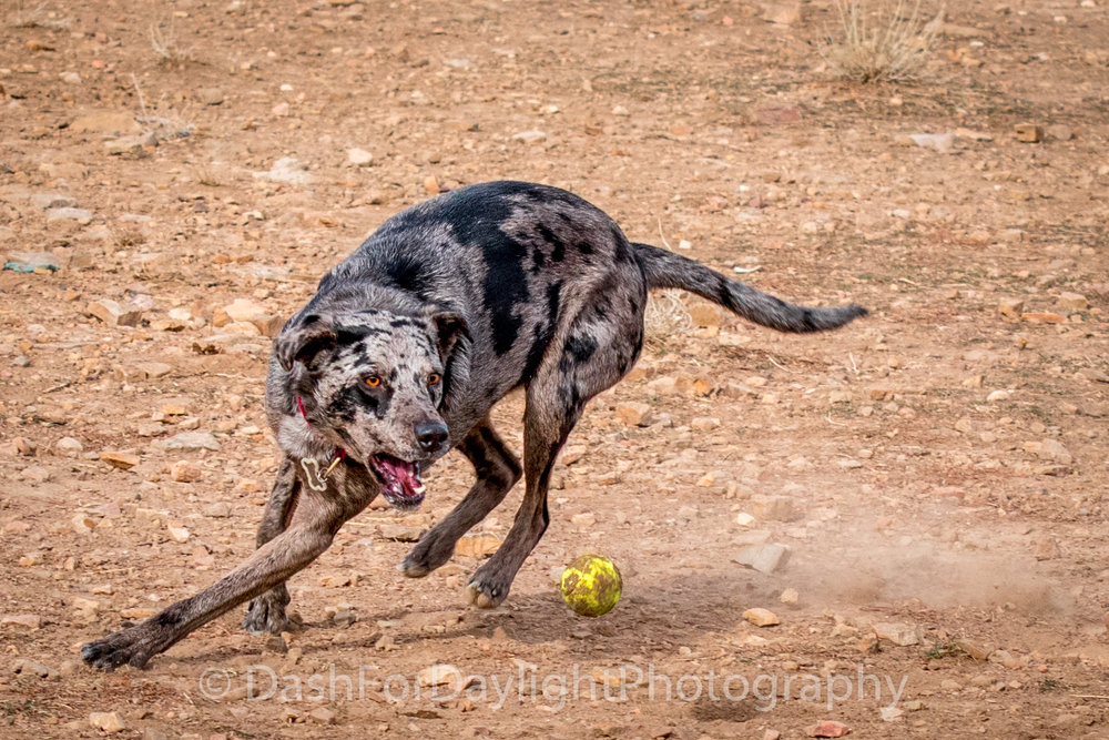 DSC_0808 Catahoula Mix Playing Shortstop