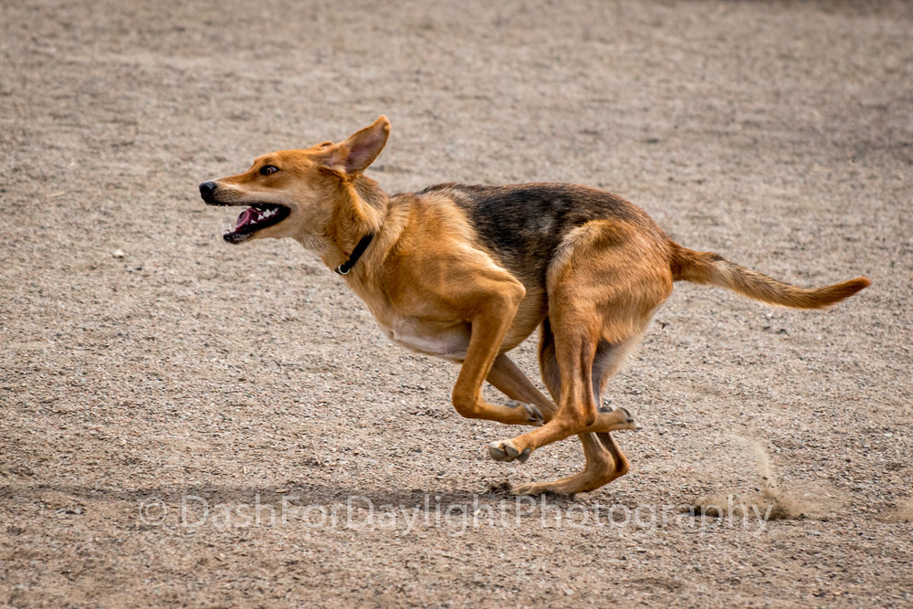 DSC_1081_Shepard Mix Collected Gallop