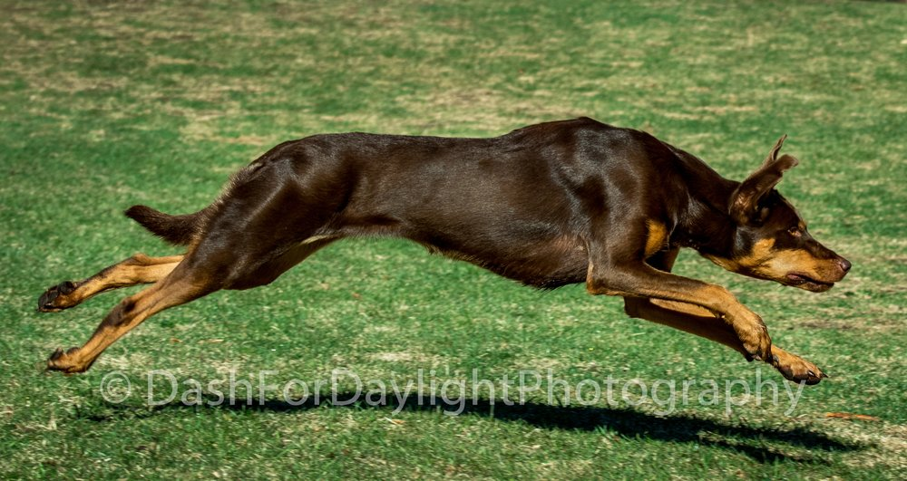 Super Dog Bounding for Glory