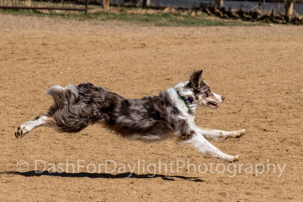 DSC_1480_Cattle Dog in Flight