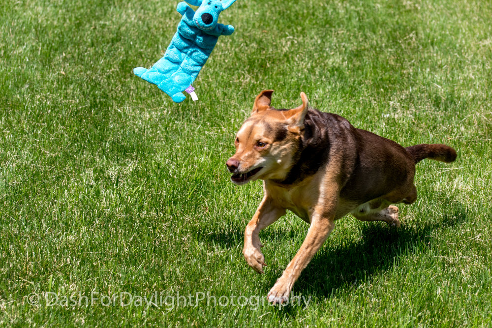 DSC_1875 3-Legged Dog - Faster Than You Think