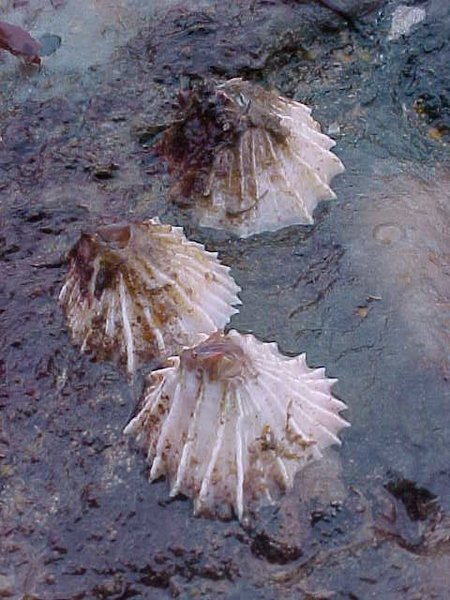 Gulf Of Maine | Sea Life & Aquarium Substrates | Striped Barnacle ...