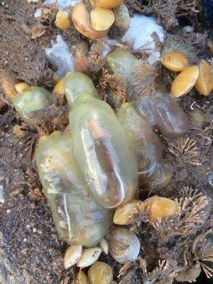 Gulf Of Maine Sea Life Aquarium Substrates Sea Vase Ciona