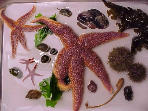 Gulf of Maine assortments.   Tidepool Study Kits, Ecology Lab Collection, Cold Water Aquarium Assortment, and Gulf of Maine marine phylum assortments.
