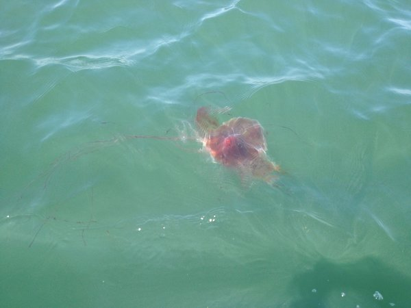 A lion's mane jellyfish brought to the surface by a rising current.