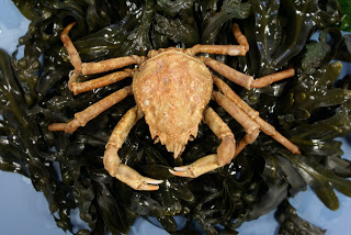 This toad crab is sitting on a pile of bladderwrack seaweed.