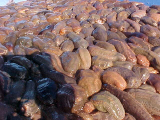 Pile of sea cucumbers.
