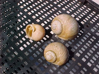 Three moon snails.