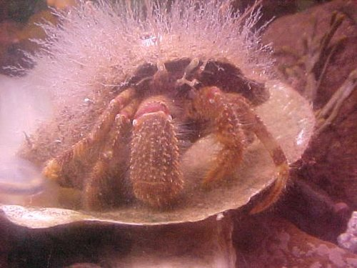 Hydroid formation covering a hermit crab.