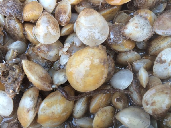 Brachiopods.  Animals having mineralized valves on their upper and lower surfaces, unlike the left - right arrangement of bivalve molluscs.
