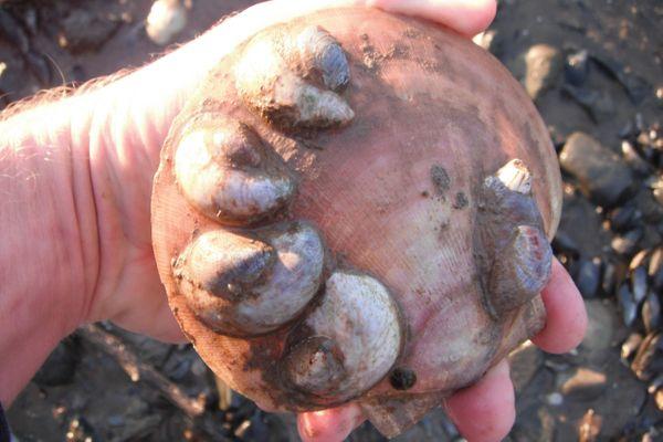 Slipper shells on a sea scallop shell.