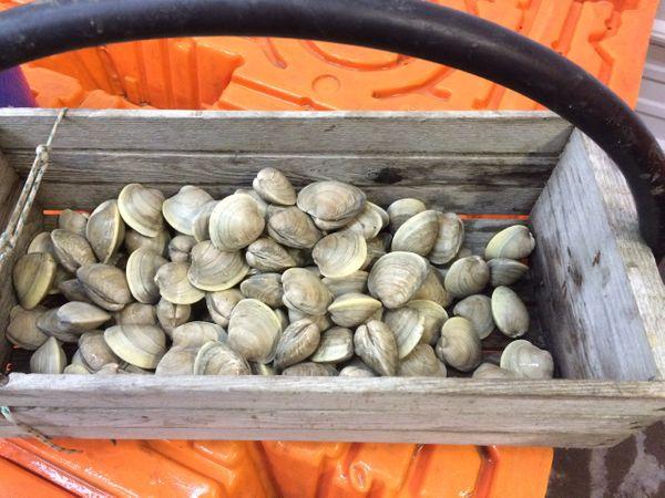 Bushel of Quahog hardshell clams.