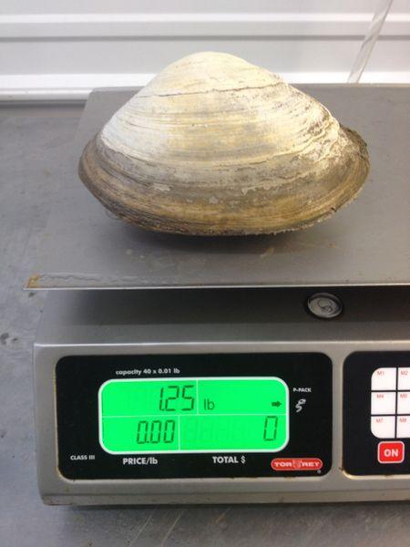 A 1.25 lb clam!