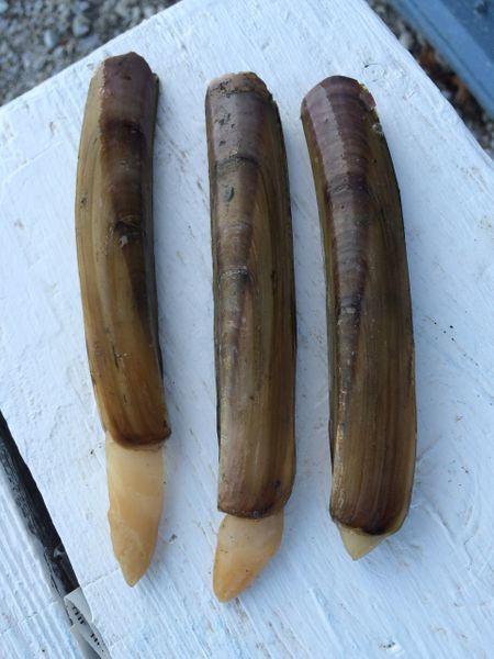 Razor clam 'necks' peeking out of their shells.