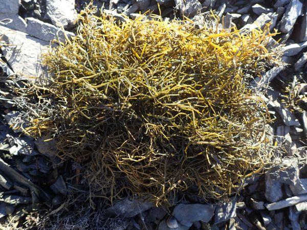 A tuft of wormweed, 'Asco' variant.