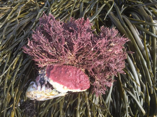Coral weed on a blue mussel.