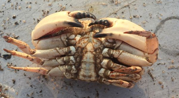 The underside of a male Jonah crab.