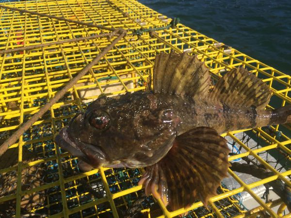 Fresh catch Cobscook Bay sculpin sitting on a lobster trap.
