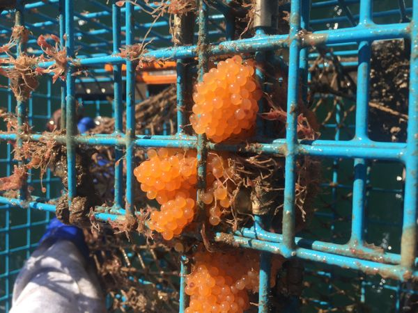 Sea raven ( Hemipterus spp.) eggs in a lobster trap.