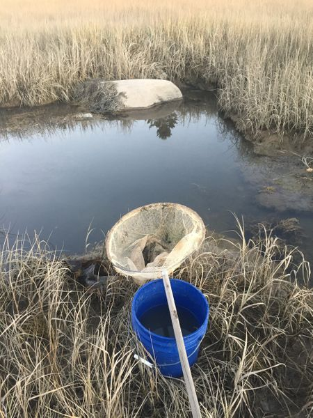 Salt marsh mummichog dipping set up.