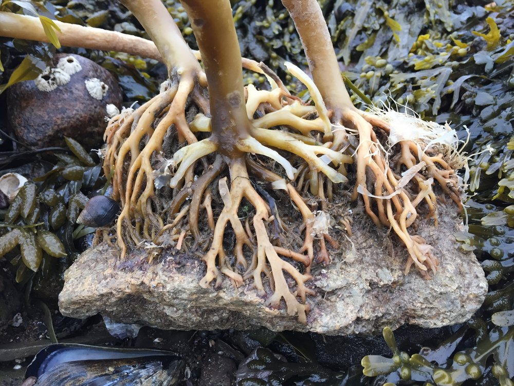 The branching, finger-like structure of a holdfast.