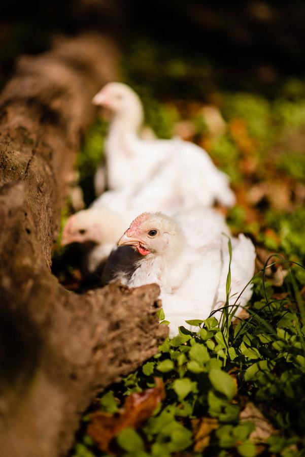 SVO-Organic-Free-Range-Chickens-display-03.jpg