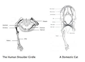 ibcage and shoulder girdle cat