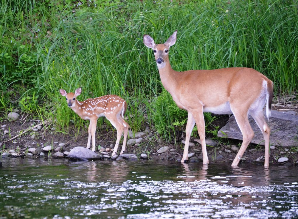 Doe and fawn ms.jpg