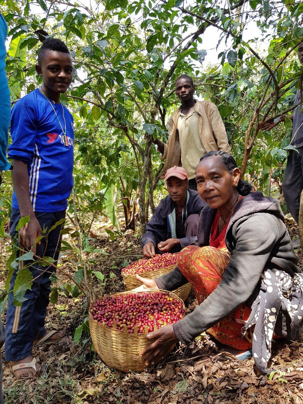 Etiopia Negele Gorbitu Magarrisa: la raccolta del caffè