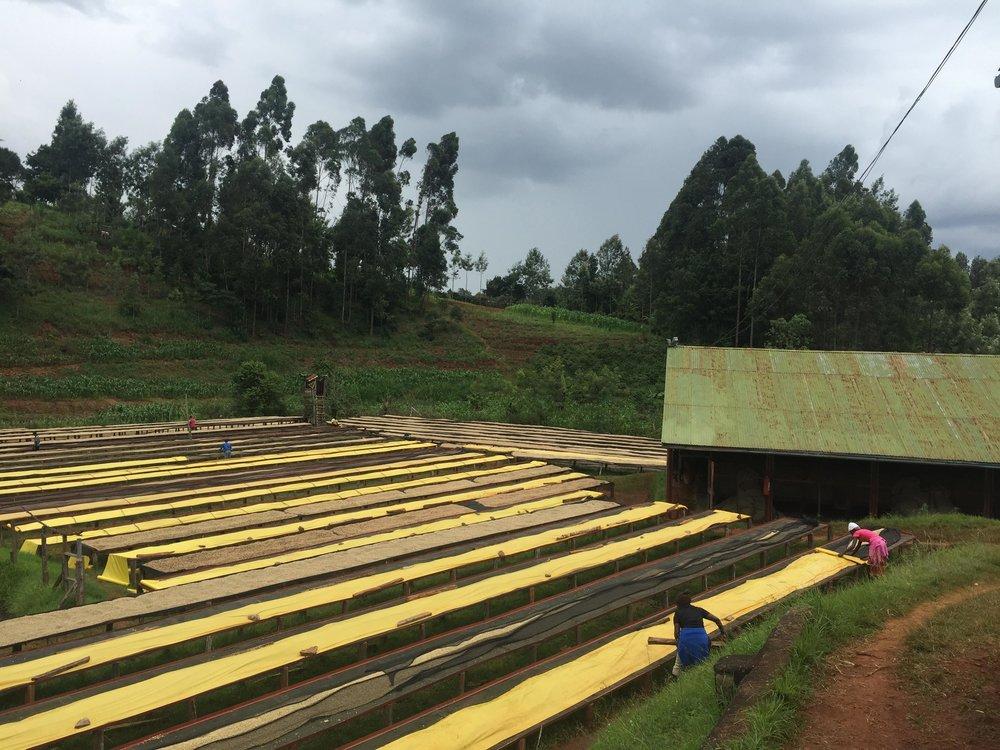 Kenia Gatomboya, l'asciugatura del caffè.
