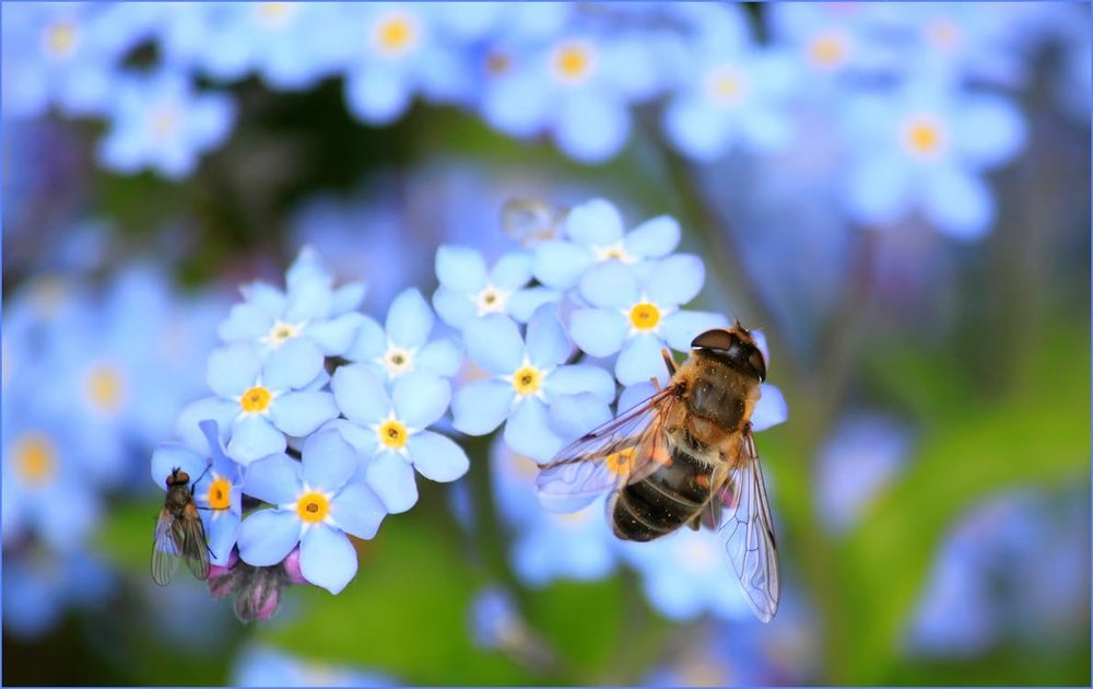 forget-me-not-hoverfly-fly-flower-60579.jpeg