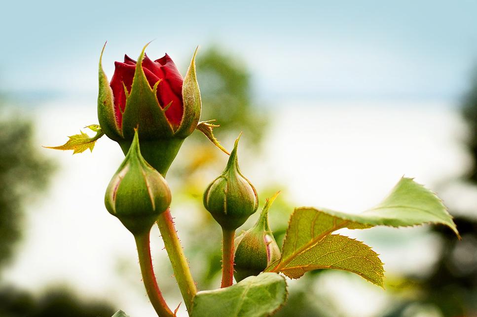rose-bush.jpg