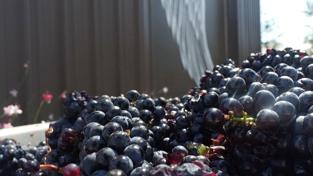 Grapes-Shine-1.jpg