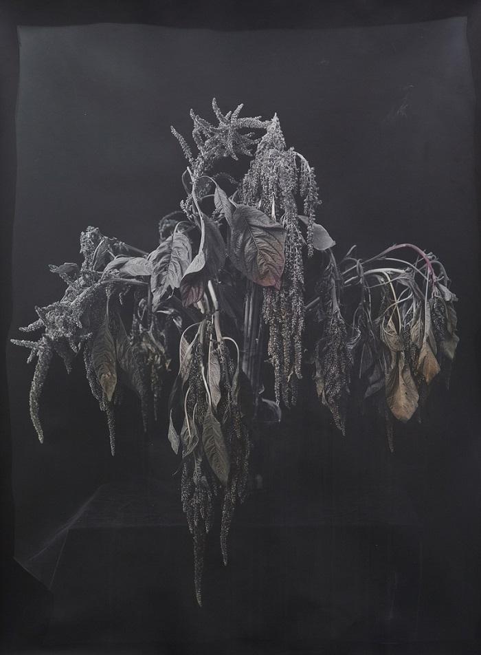 Christine Elfman,  Amaranth , 2016, Silver gelatin print colored with amaranth, 30 x 40 inches (76.2 x 101.6 cm), Edition of 3 + 2AP