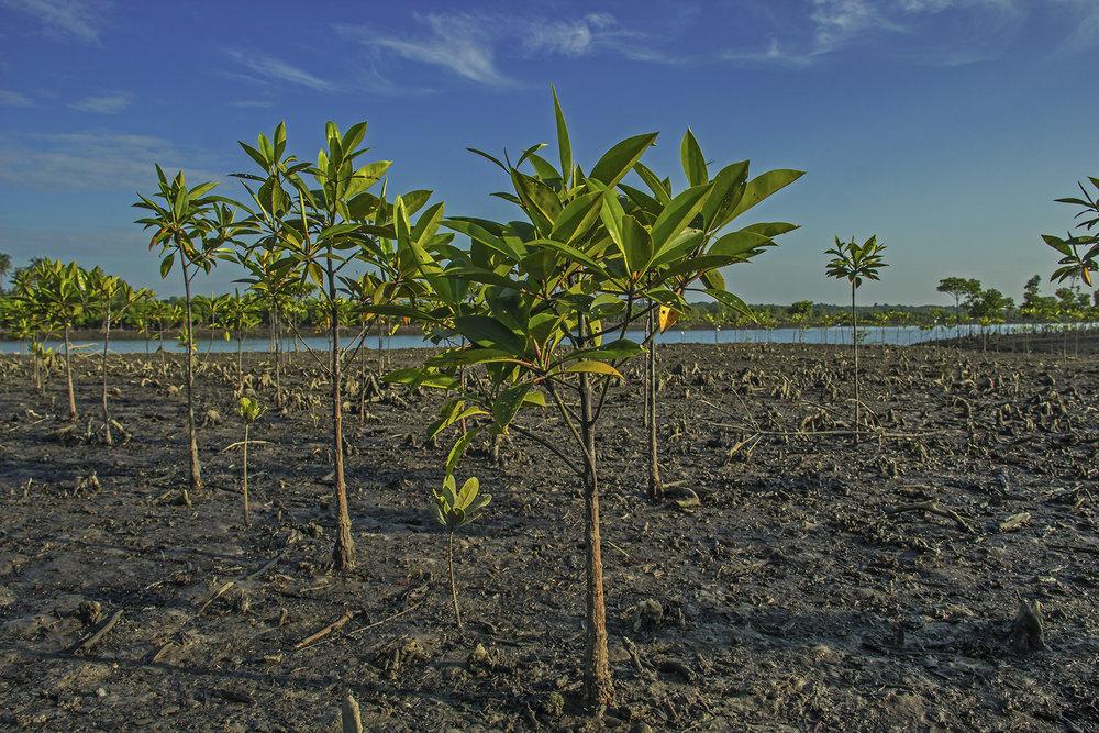replanted mangrove in memorial tree planting place.jpg