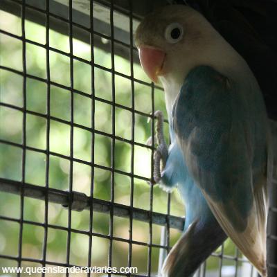 1095654-pastelmaskedlovebird.jpg