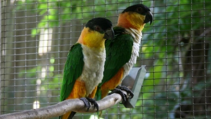 Black-headed Caique -