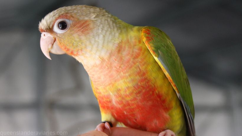 catagories_greencheekconure_banner_820_461_compressed.jpg