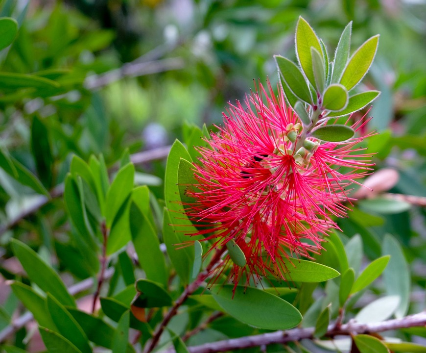 Native branches are great for bird stimulation and enrichment. - Native branches are great for bird stimulation and enrichment. Bottle-brush - The flowers and branches of the Australia Bottle-brush (Callistemon sp.) are safe for all birds. The flowers are relished by Lorikeets.