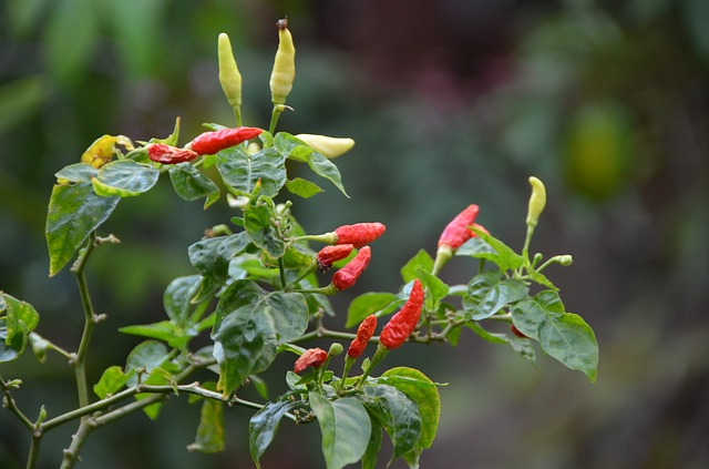 Chillies are best served fresh - Always wash with clean water to remove any residual chemicals.