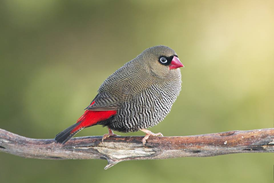 Beautiful Firetail Finch - Emblema bella