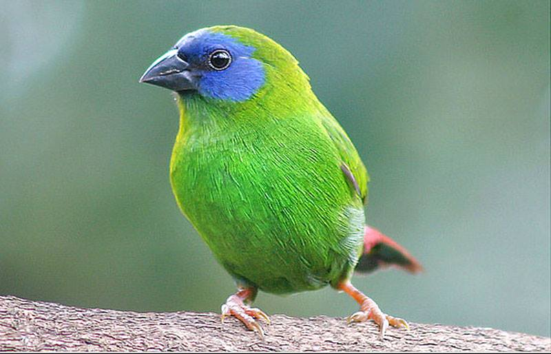 Blue-faced Parrot Finch - Erythrura trichroa