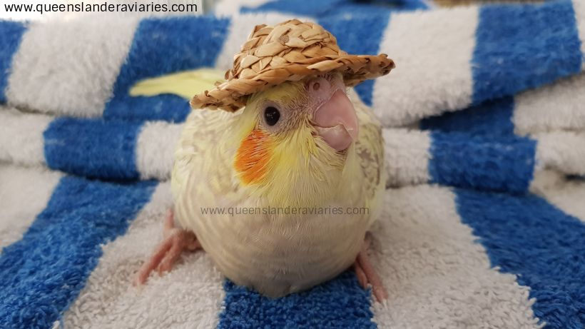 youtubethumbnail_queenslanderaviaries_cockatielhat2017.jpg