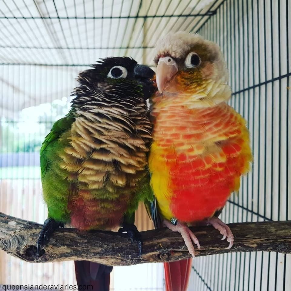 Green-Cheek Conures -